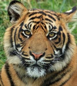 pixabay-tiger-165189_1280