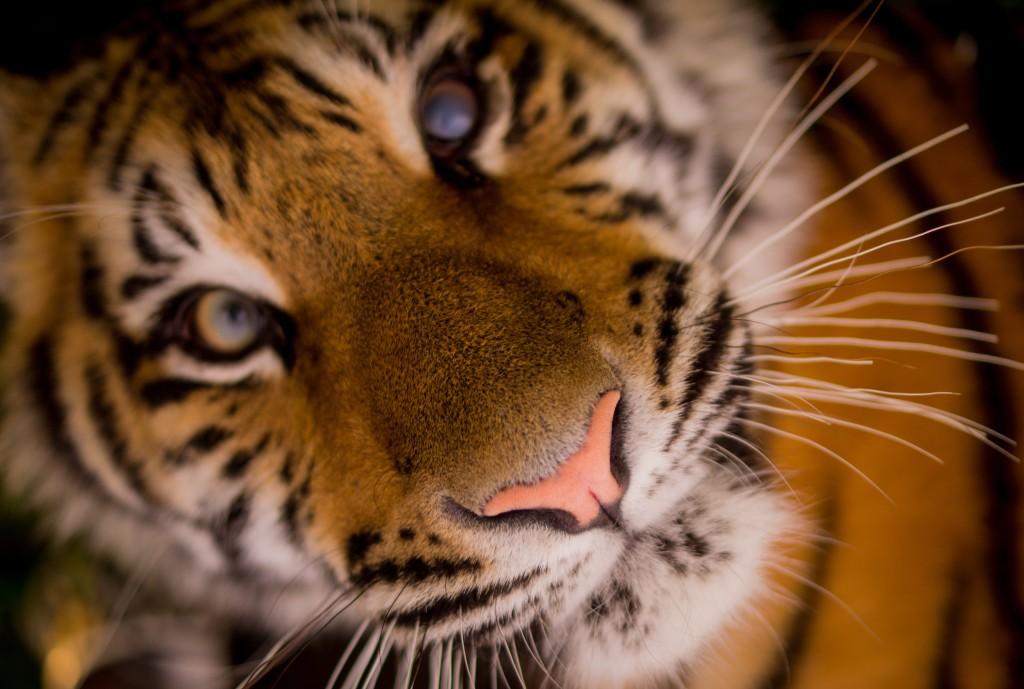 Good luck and go git 'em tiger!