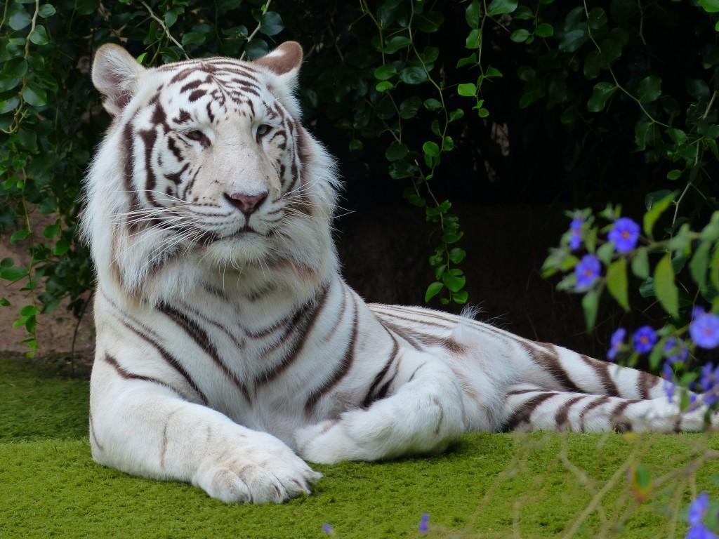 go git 'em tiger