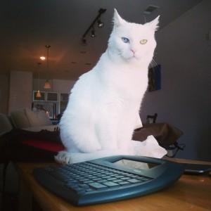 Barry White Cat Turkish Angora