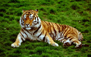 Siberian_Tiger_at_Colchester_Zoo,_UK._(5755163592)