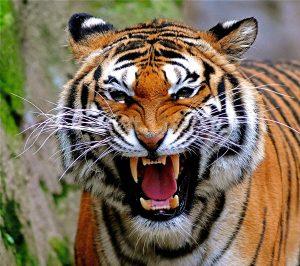 Got Git Em Tiger on Biznology