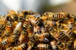 honey-bees-326334