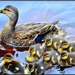 duck-715568_1280 (1)