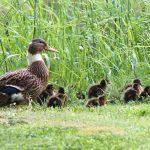 duck-938814_1920