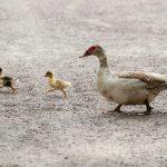 ducks-204332_1920