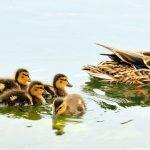 mallard-ducks-934518_1280 (1)