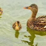 mallard-ducks-938502_1280