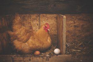 Hen with chicken eggs