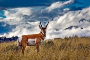 The pronghorn (Antilocapra americana) is a species of artiodactyl mammal indigenous to interior western and central North America.